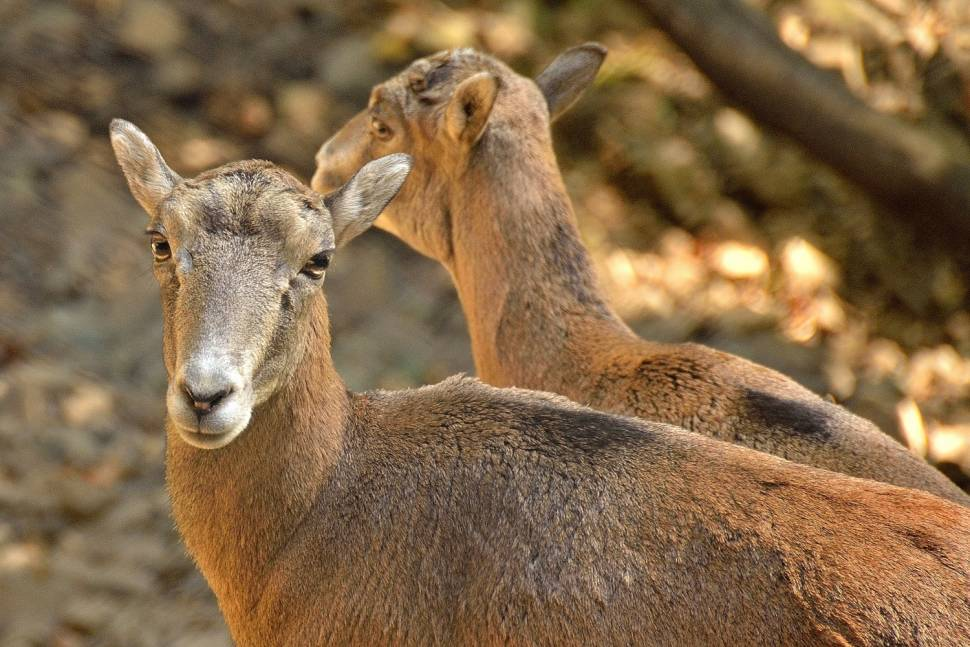 Best time for Cyprus Mouflon: Wild Sheep in Cyprus