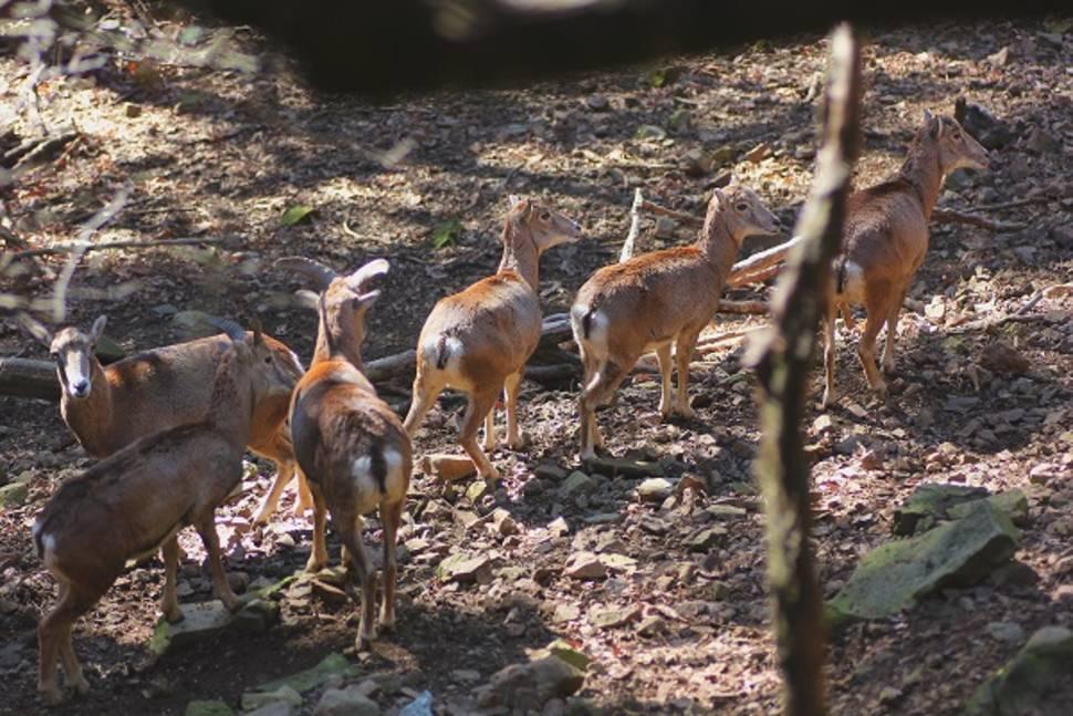 Cyprus Mouflon: Wild Sheep in Cyprus - Best Season