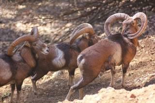 Cyprus Mouflon: Wild Sheep