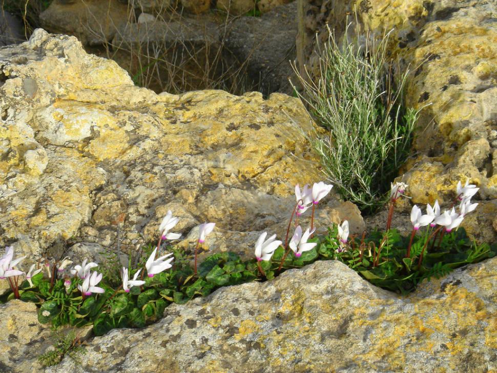 Pink Cyclamen in Cyprus - Best Time