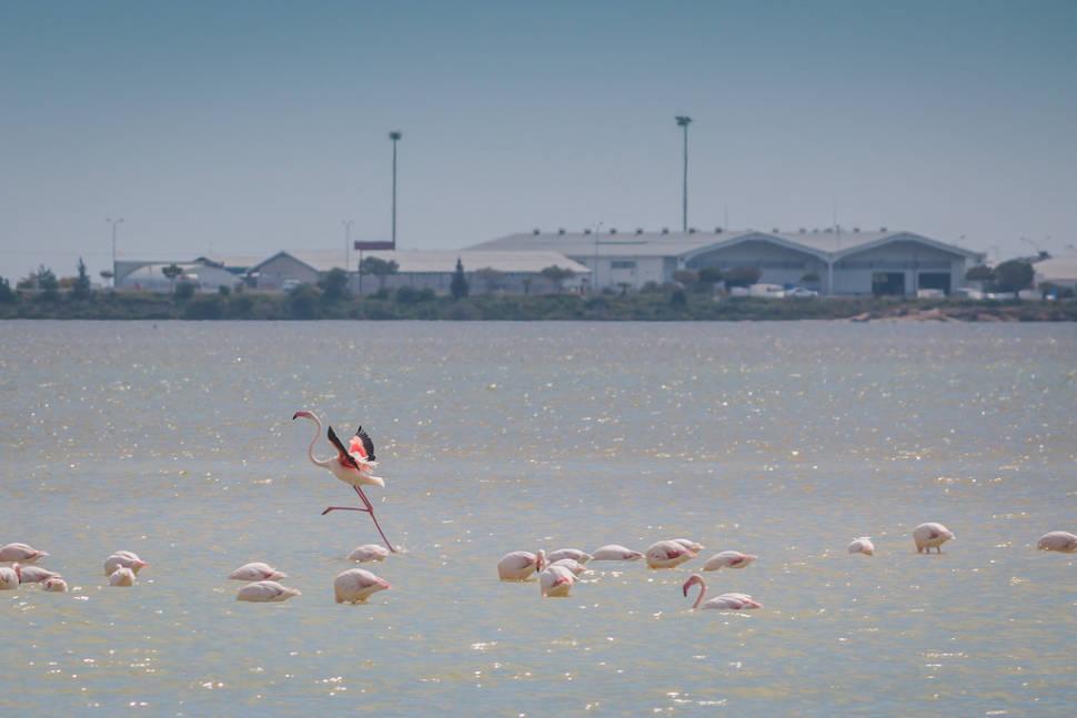 Flamingos at Larnaca salt lake