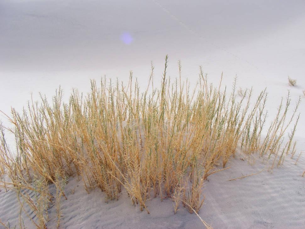 Eureka Dunegrass, endemic to Eureka Dunes