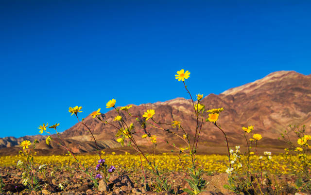 Best time for Death Valley Super Bloom in Death Valley