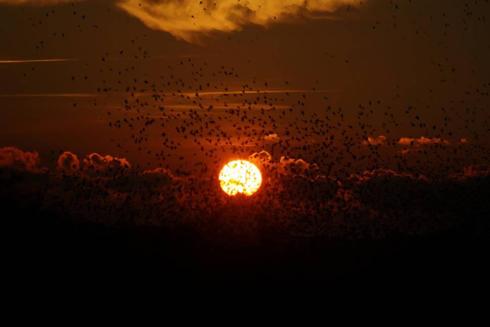 Black Sun or Starling Murmuration in Denmark - Best Season