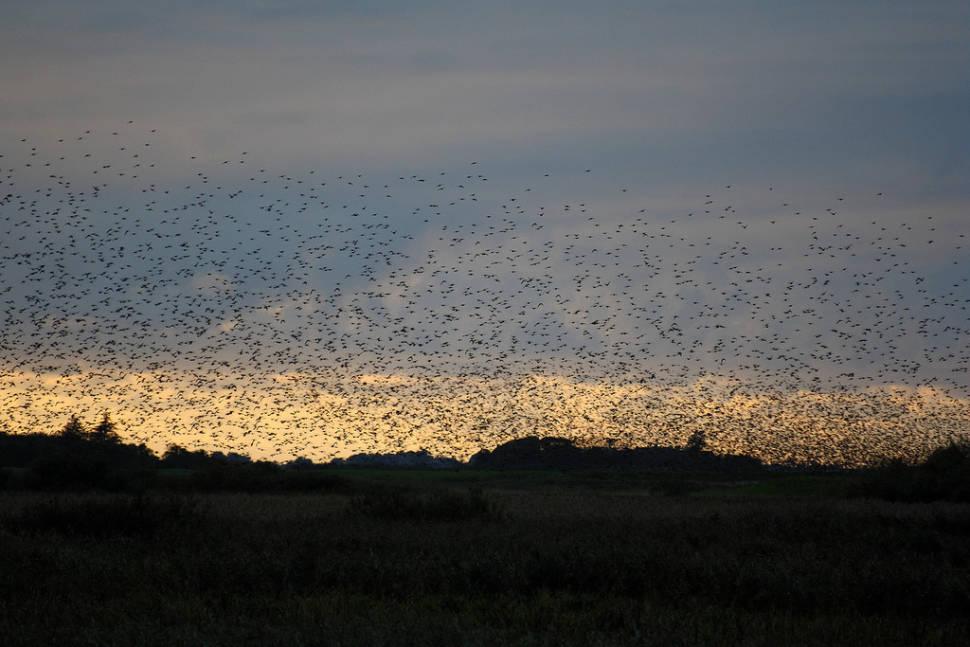 Best time for Black Sun or Starling Murmuration in Denmark