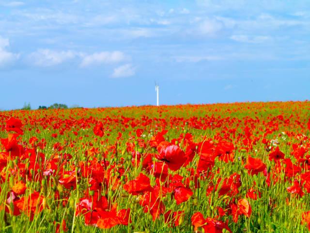 Poppies in Sjaelland, Denmark
