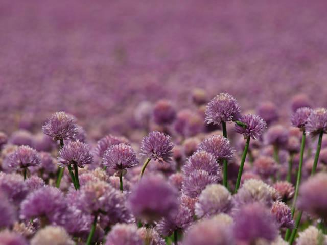 Blooming Fields in Denmark - Best Time
