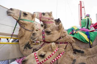 Camel Racing Season