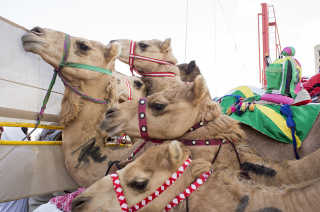 Camel Racing Season