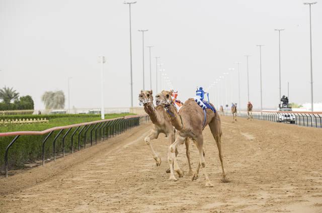 Best time for Camel Racing Season in Dubai
