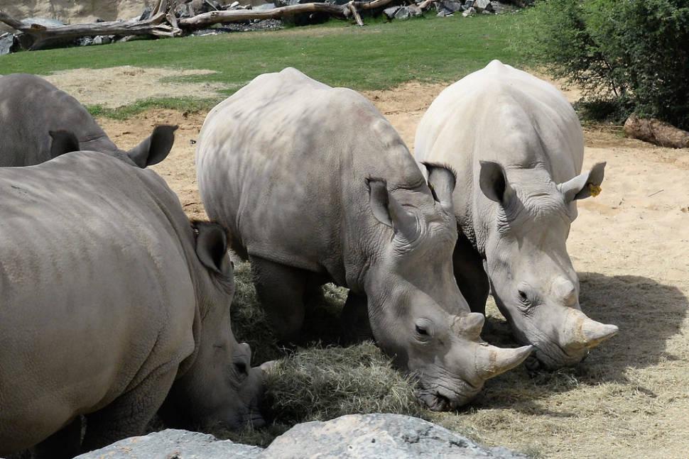White rhinos of Dubai Safari Park