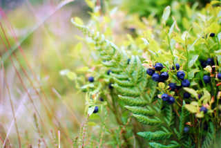 Scotland Berries Season