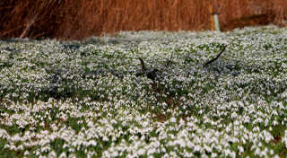 Snowdrops Bloom Time