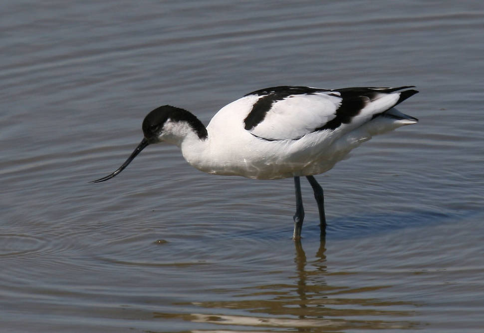 Avocet (Recurvirostra avosetta), photographed from one of the hides at Minsmere RSPB reserve in Suffolk, England
