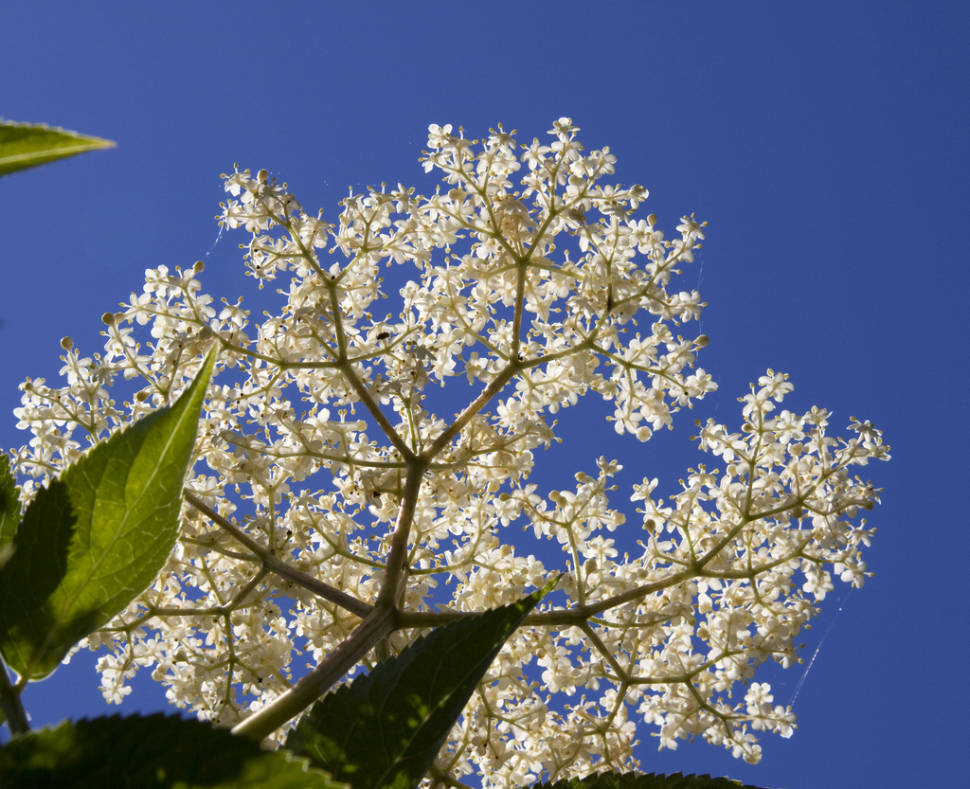 Elderflowers in England - Best Time