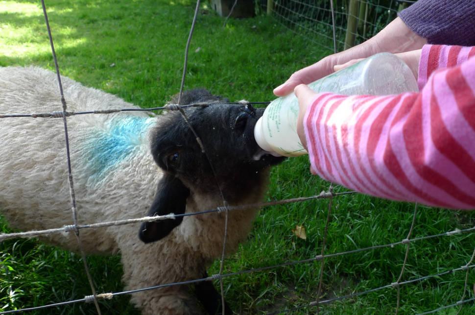Lambing Season in England - Best Season