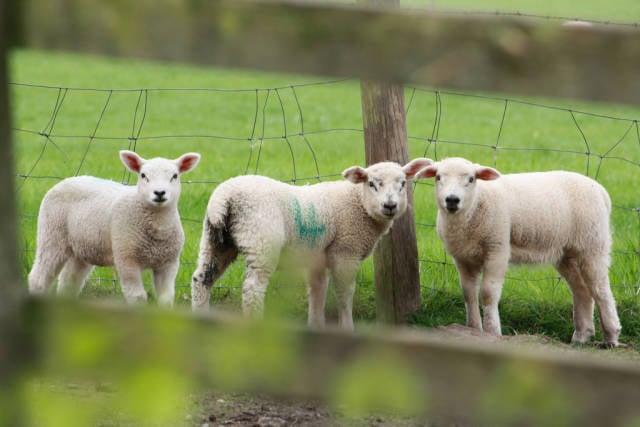 Lambing Season in England - Best Time