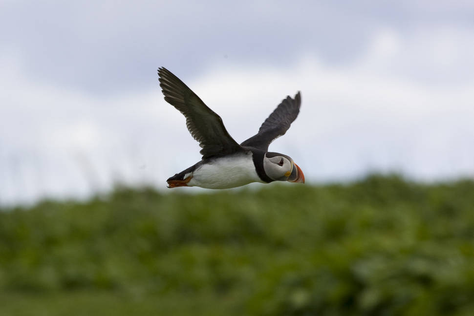 Puffin on the Inner Farne
