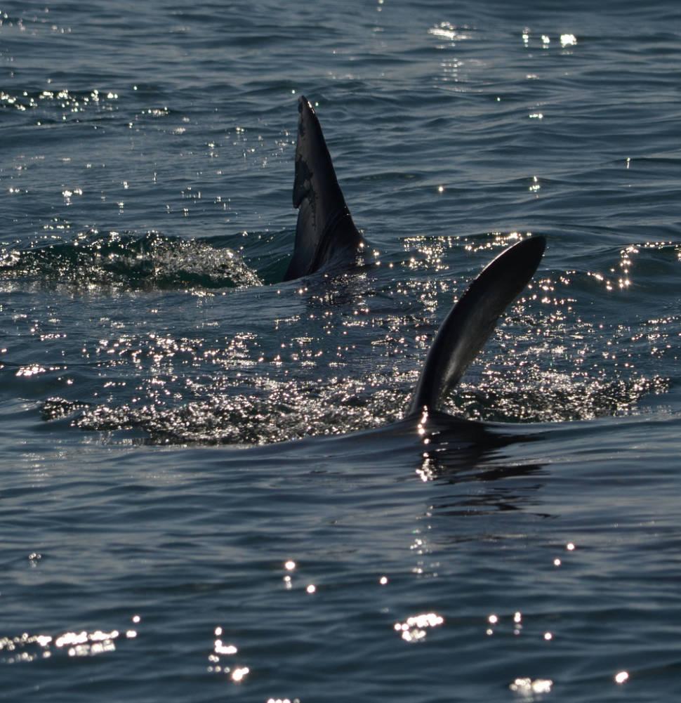 Basking Shark off Berry Head