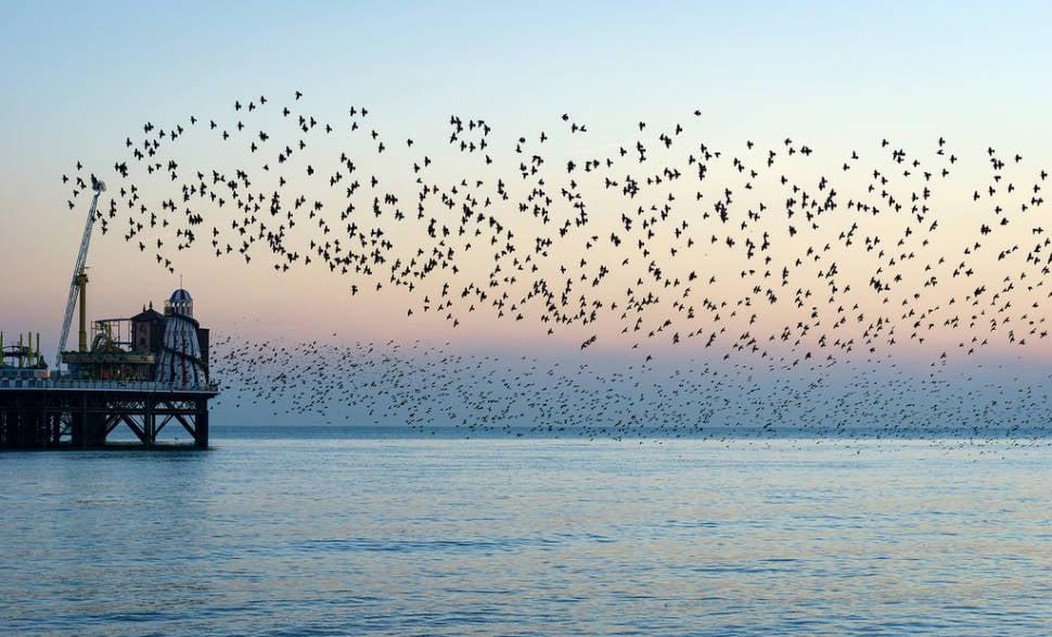 Starling Murmuration in England - Best Season