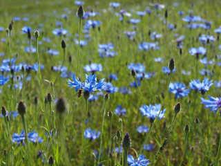 Blue Cornflower Bloom