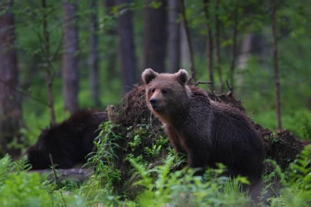 Brown Bear Watching in Estonia - Best Time