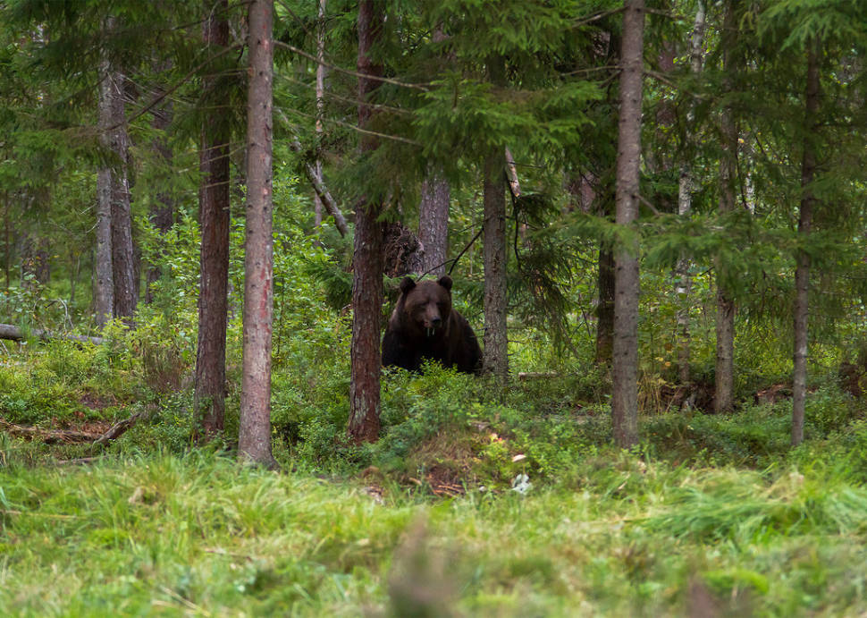 Best time for Brown Bear Watching in Estonia