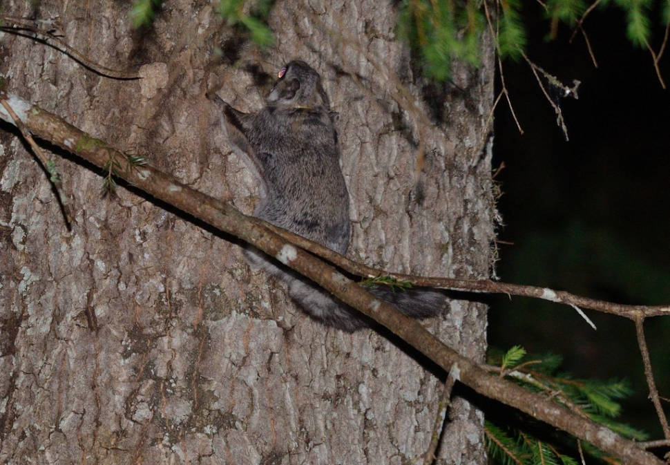 Flying Squirrels in Estonia - Best Season