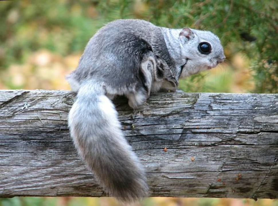 Flying Squirrels in Estonia - Best Time
