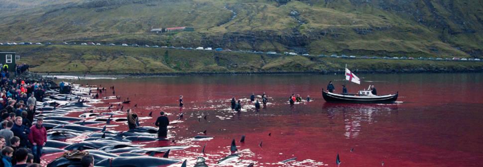 Tradition or Savagery? Grindadráp! in Faroe Islands - Best Season