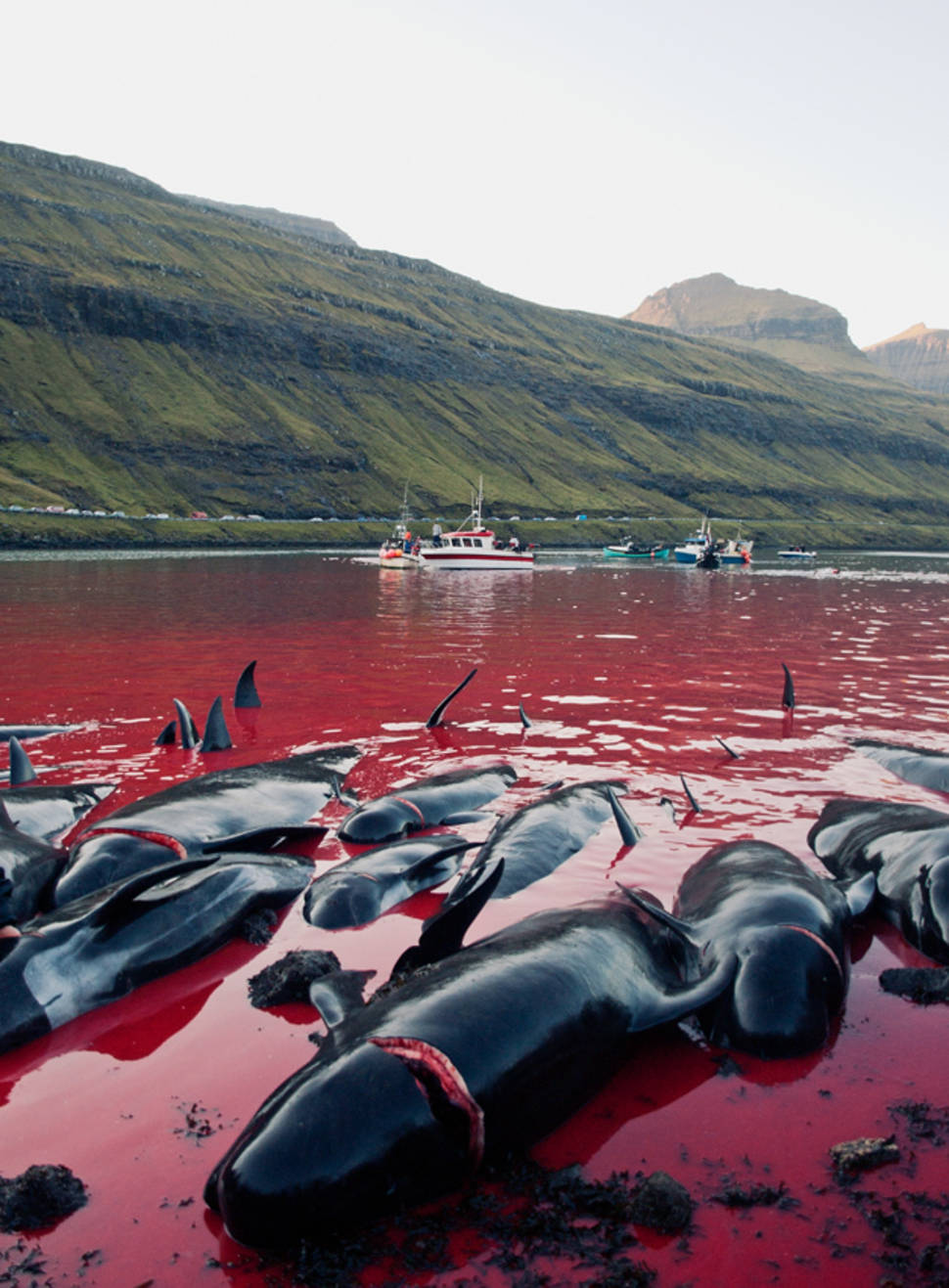 Best time for Tradition or Savagery? Grindadráp! in Faroe Islands
