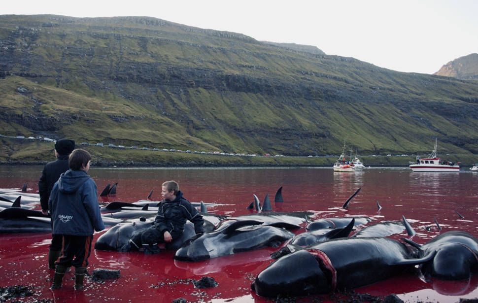 Tradition or Savagery? Grindadráp! in Faroe Islands - Best Time