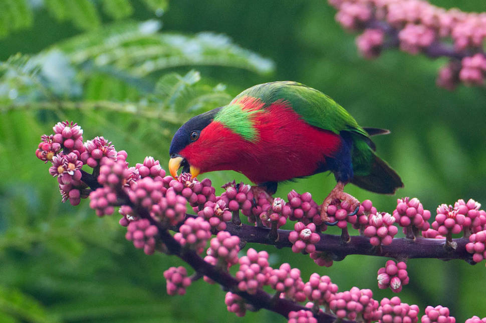 Best time for Collared Lory Breeding Season in Fiji
