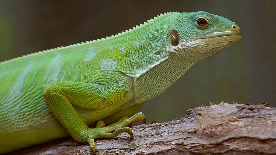 Fijian Banded Iguana Breeding in Fiji - Best Time