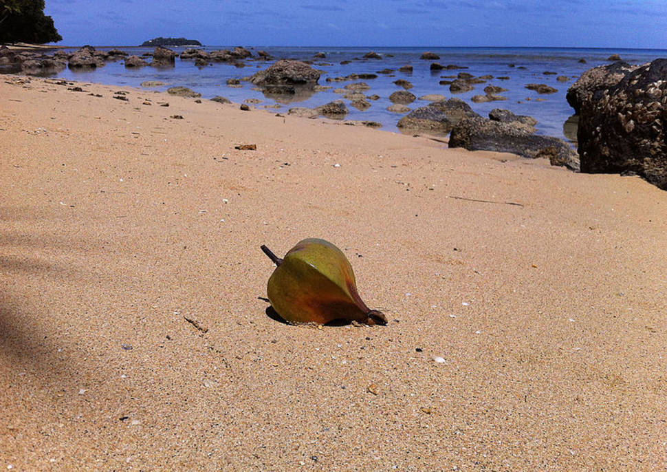 Fruit of Barringtonia asiatica on the beach of Lawaki, Beqa Island, Fiji