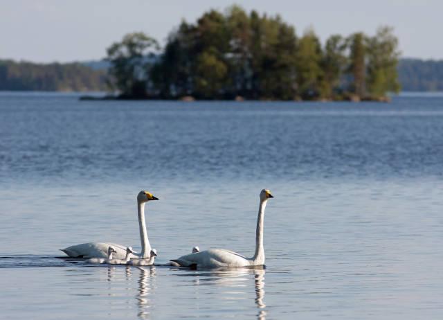 Whooper Swans in Lakeland
