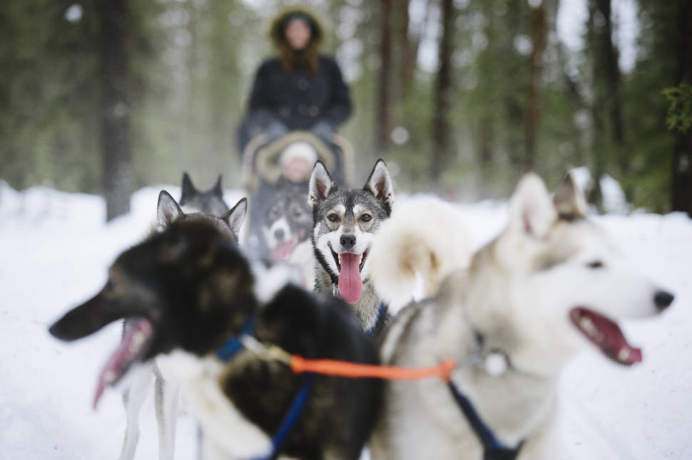 Dog Sledding in Finland - Best Season