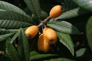 Nespole Fruit Season