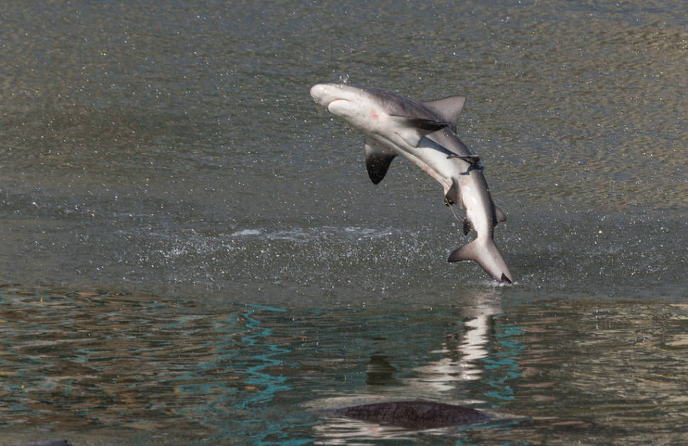 Spinner shark jump