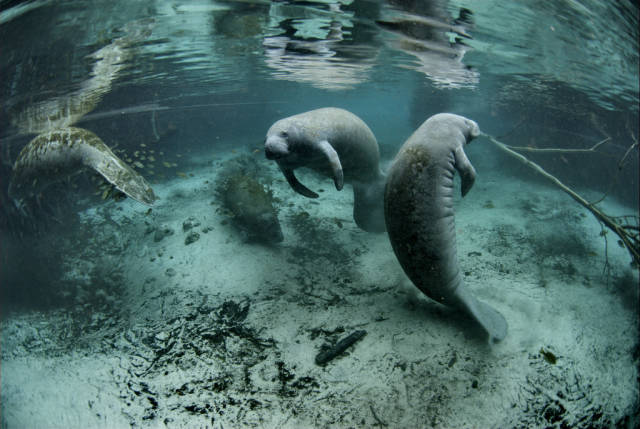 Best time for Swimming with Manatees in Florida