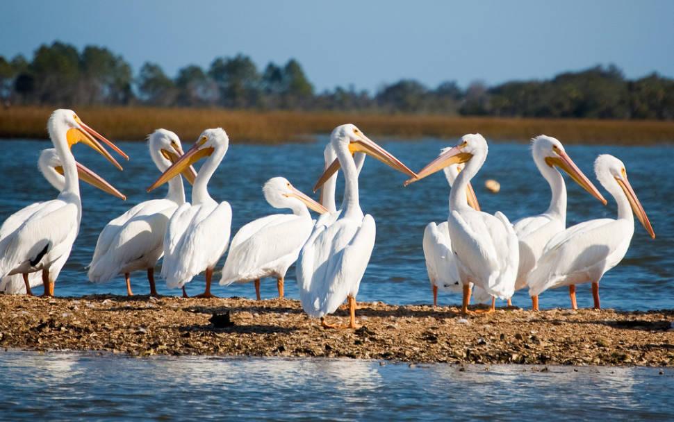 White Pelicans in Florida - Best Season