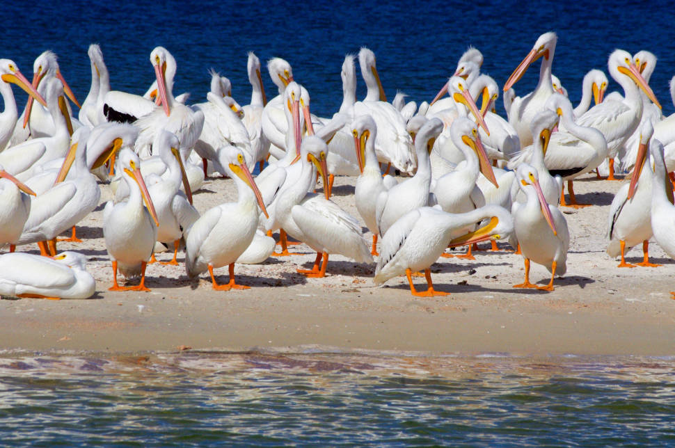 White Pelicans in Florida - Best Time