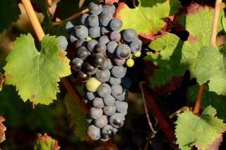 Grape Harvest & Festivals