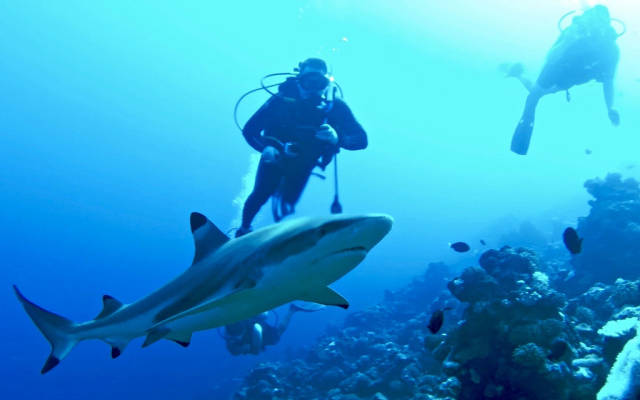 Wall of Sharks in French Polynesia - Best Season