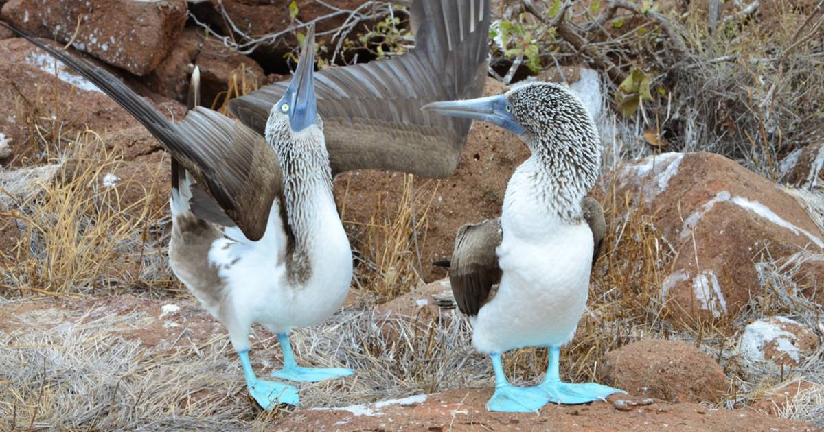 Blue-Footed Booby Performing its Mating Dance in Galapagos Islands - Best Time