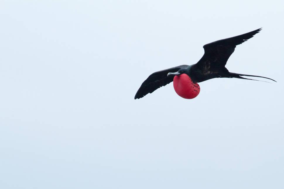 Frigatebirds in Galapagos Islands - Best Time