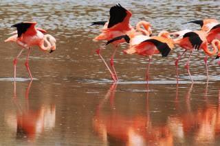 Galapagos Flamingos Courtship Dances