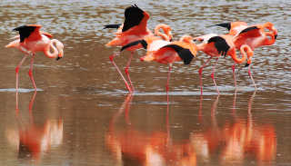 Galapagos Flamingos Courtship Dances