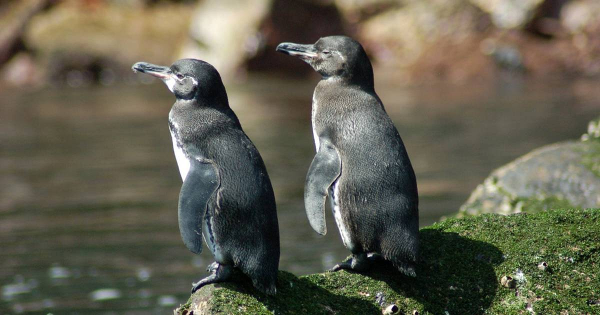 Galapagos Penguins in Galapagos Islands - Best Time