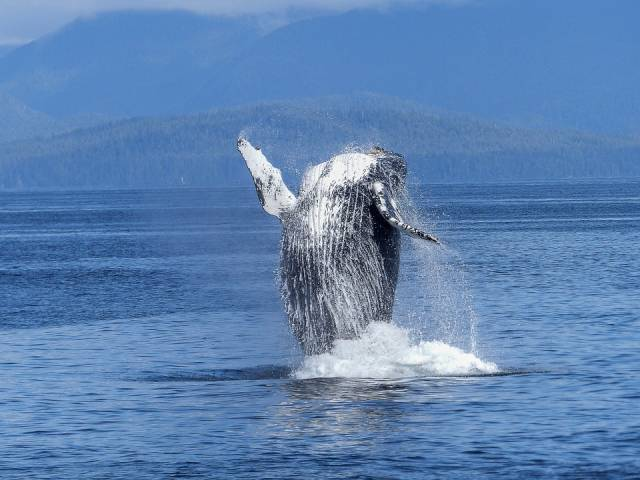 Humpback Whales in Galapagos Islands - Best Time
